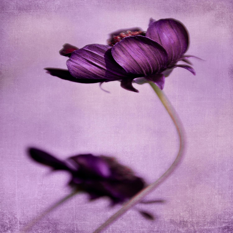 DiaNoche Designs Artist   Iris Lehnhardt - Purple Blossoms