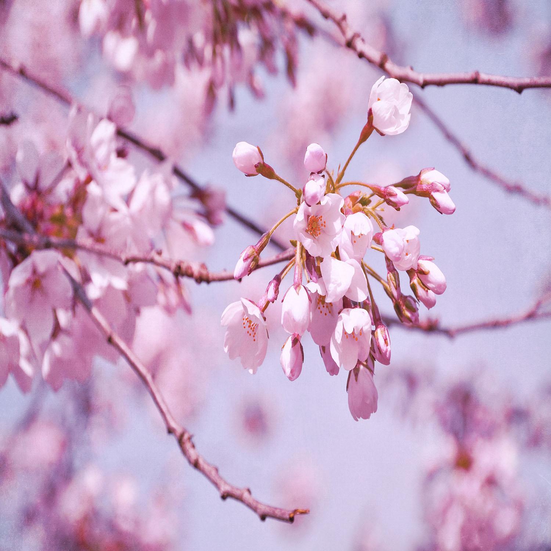 DiaNoche Designs Artist   Iris Lehnhardt - Vintage Spring Lilac Pink