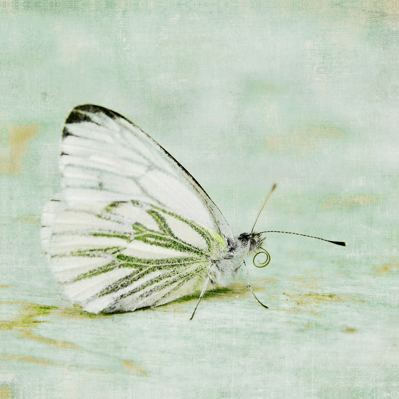 DiaNoche Designs Artist | Iris Lehnhardt - Butterfly